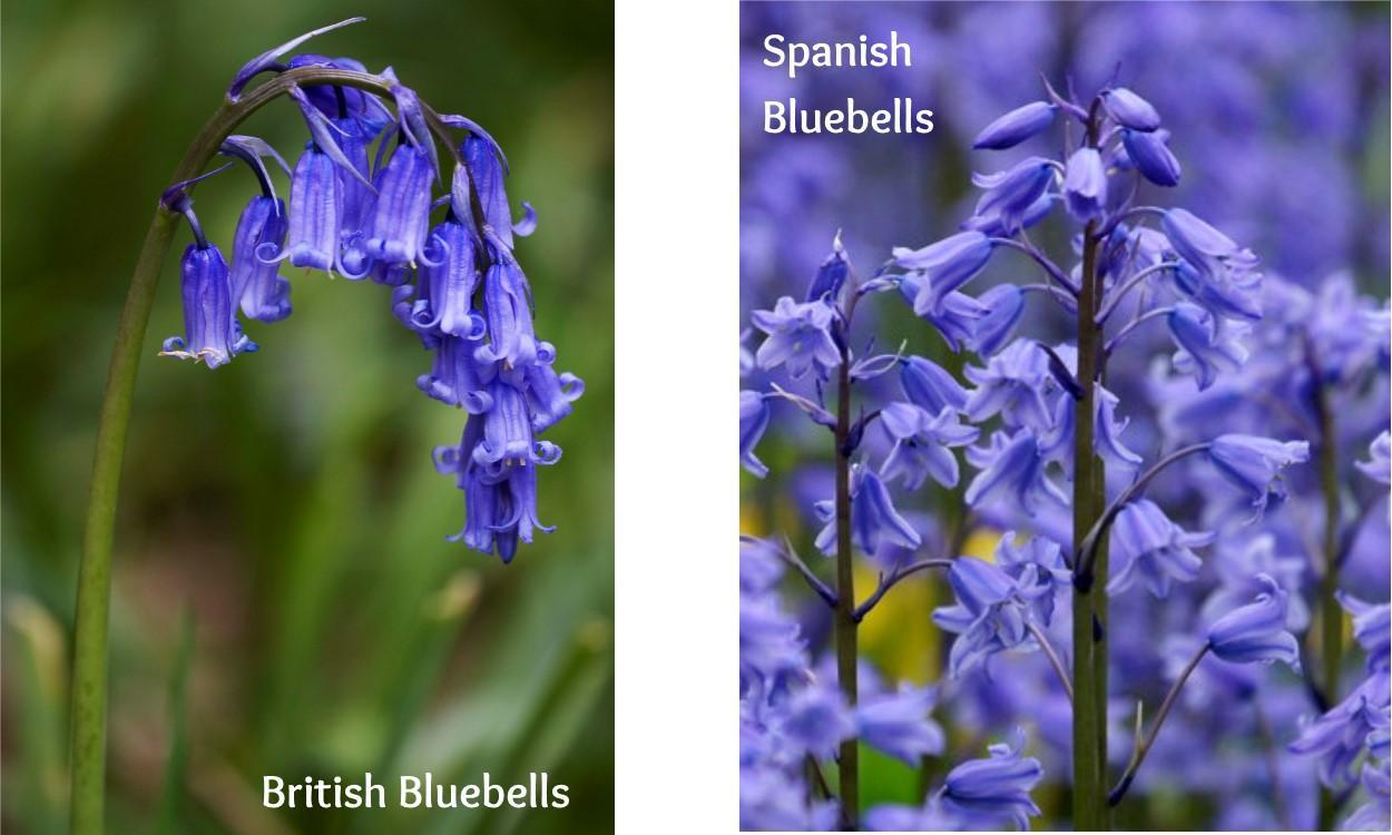Different Bluebells