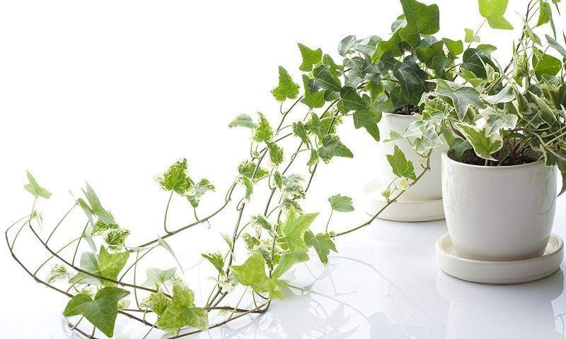 English Ivy In Article