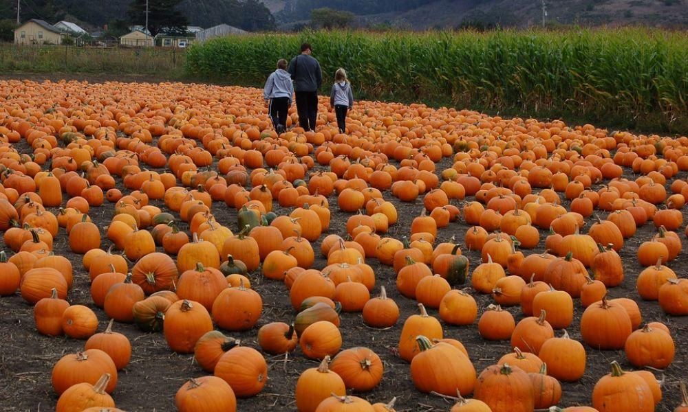 Where to Pick your Own Pumpkins in West Wales
