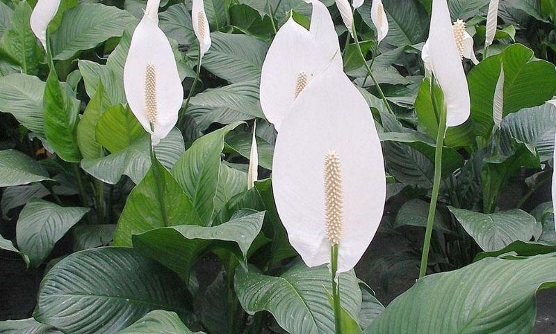 Peace Lily In Article