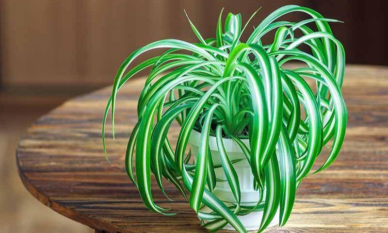 Spider Plant in Article