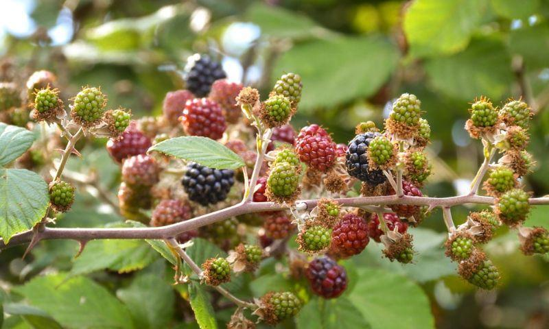 Stages of Blackberries Ripeness