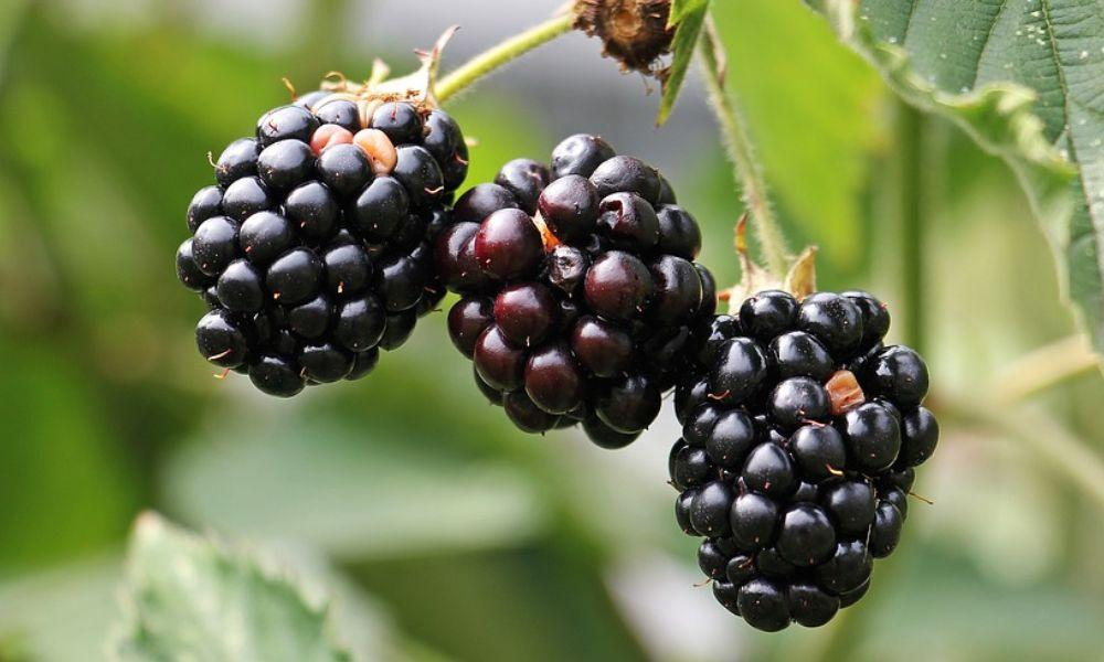 Top Tips on Foraging Wild Blackberry and a Yummy Recipe to Make