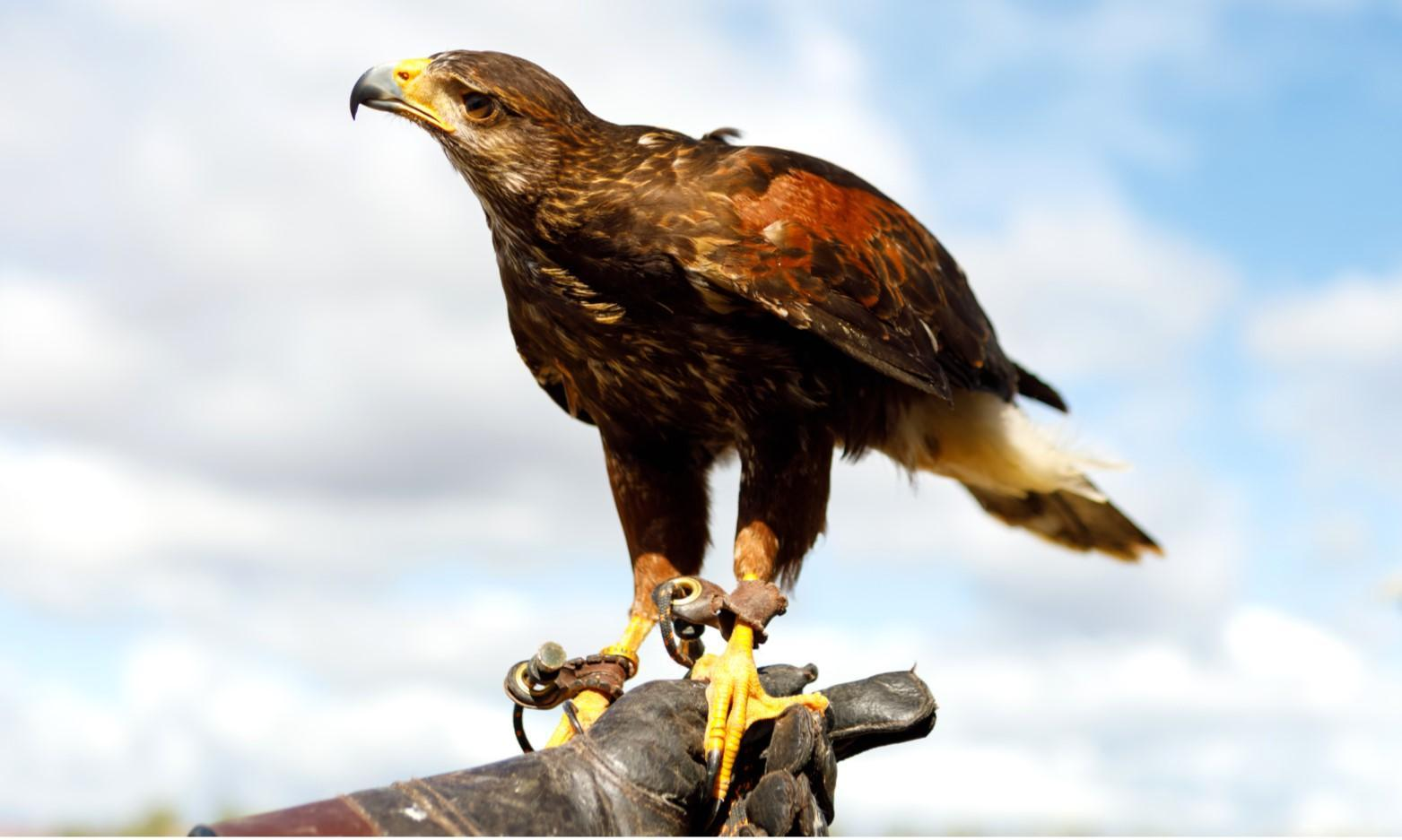 Kids' History Festival Birds of Prey at Laugharne Castle