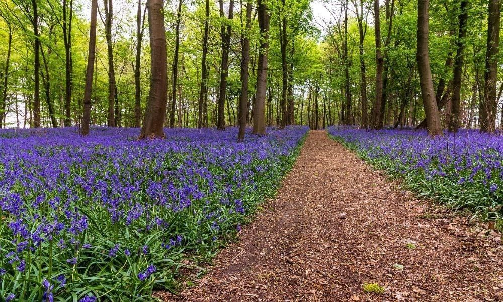 Best Places to Enjoy the Bluebells in West Wales